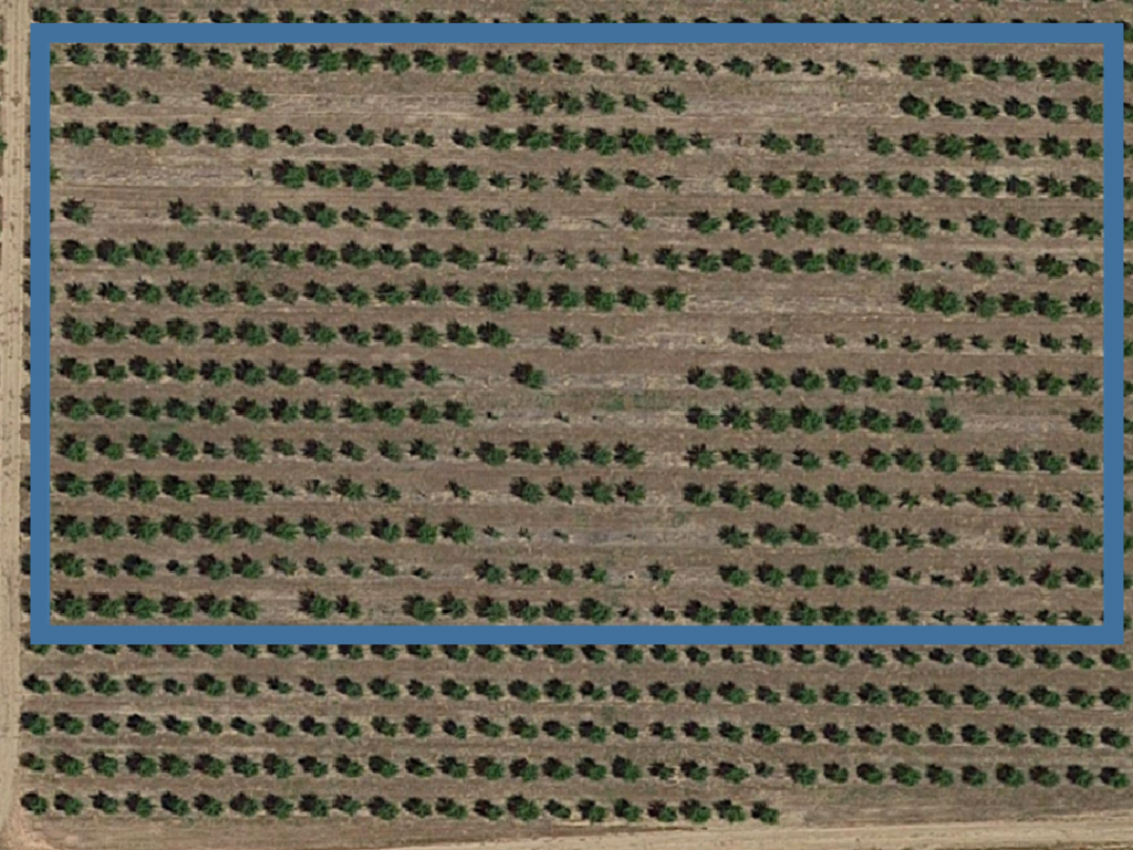 Photo 1. Satellite image of the UCCE prune rootstock plot (inside the blue line) in Yuba County showing differences in tree size and survival between different rootstocks. Although tree loss was likely from multiple causes, bacterial canker was a significant player. Each rootstock is planted in six tree groups down the rows running E-W. Note gaps of six trees show where a particular rootstock failed, adjacent to large, healthy canopies where a different rootstock is thriving. The grower's trees, outside the blue line are all on M40. (Google©, Imagery Maxar Technologies ©2019, and U.S. Geological Survey map data ©2019).