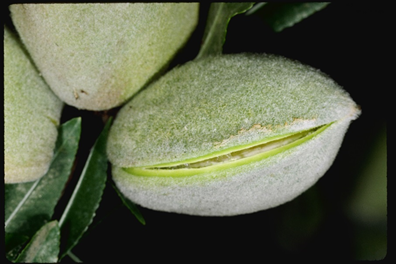 Stage 2c of early hull split; target timing for first NOW spray. The nut can be squeezed from the ends and the entire suture will pop open. (photo credit: UC IPM program; ucipm.ucanr.edu)