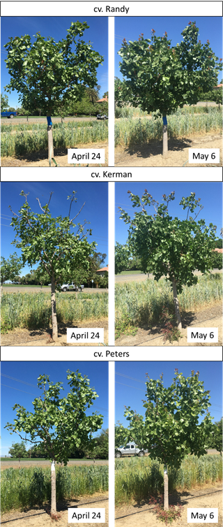Figure 2. Leaf out of three cultivars ('Randy', 'Kerman' and 'Peters') in one orchard. Note the more filled canopy in 'Randy'. Photos: Kat Jarvis-Shean