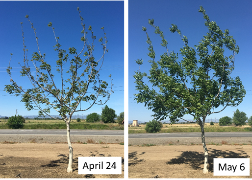 Figure 4. 'Chandler' walnuts, 5th leaf, in Yolo County. Photos: Kat Jarvis-Shean