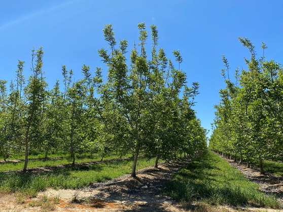 Figure 5. 'Chandler' walnuts 5th leaf on April 28th, Sutter County. Photo: Luke Milliron