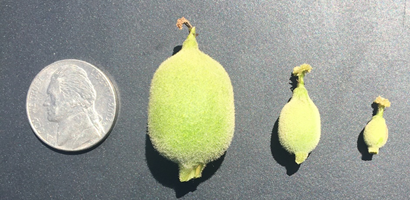 Figure 6. Fruit size variability, mature Howard, May 6th, Solano County. Photo: Kat Jarvis-Shean