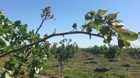 Figure 7. Bud break continues through May 6th. Kerman, Yolo County. Photo: Kat Jarvis-Shean