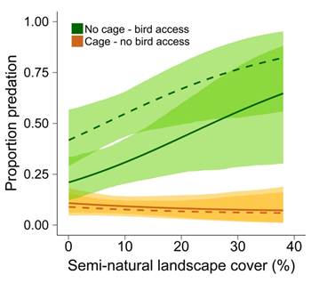 Figure 3. Predicted effects of bird exclosure cages on codling moth larval predation across a gradient of landscape cover (habitat from none to 40%) within about ¼-mi of the walnut orchards in our study. Lines indicate means, color ribbons around lines are 95% confidence intervals. Dashed lines indicate larvae on trees where at least one other larva was depredated and solid lines reflect larvae on trees where no other larvae were consumed; this differentiation helps researchers account for a birds' ability to quickly become accustomed to novel food items (Heath and Long 2019).