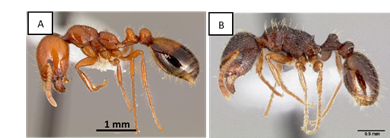 Fig. 1. Southern fire ant, Solenopsis xyloni (A) and Pavement ant, Tetramorium immigrans. Picture by April Nobile. AntWeb. Version 8.34. California Academy of Science, online at https://www.antweb.org. Accessed 12 June 2020.
