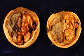 Photo 1. In the past five to six years there have been increased reports of walnut mold. Photo courtesy of Dr. Themis Michailides.