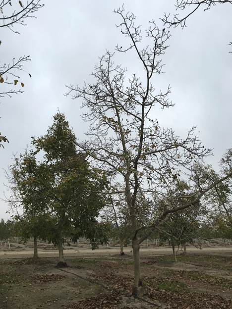 Figure 1. An orchard facing general decline, with a high rate of tree loss. Extensive crown gall, trunk cankers, and high nematode counts all present in this orchard.