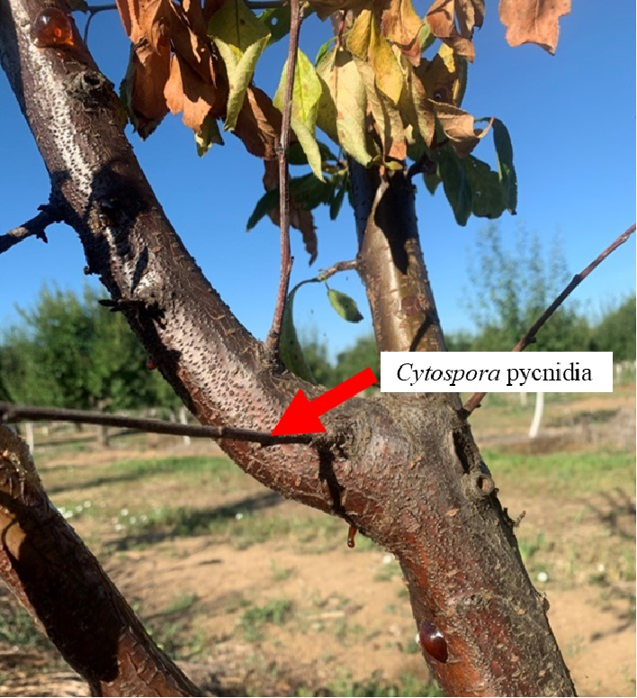 Photo 3. Cytospora pycnidia, the spore source of the Cytospora fungi. Black pycnidia turn white over time (see Photo 4).