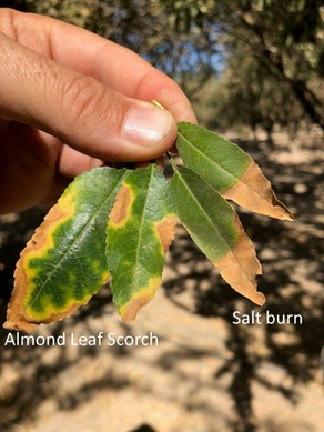 Figure 4. Almond leaf scorch symptoms contrasted with salt burn symptoms (figure by Dr. Florent Trouillas, UCCE Plant Pathologist, Kearney Ag Center).