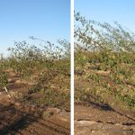 Photos 2 & 3. Second leaf prune trees on Myro 29C rootstocks after strong wind storms in Sutter County in 2010. Photo Credit: F. Niederholzer