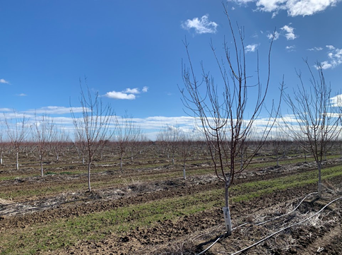 Photo 1. Second leaf prune trees on Krymsk 86 rootstocks after 50-60 mph wind gusts in Yolo County in February 2021. The trees remained upright despite the strong winds. Photo Credit: F. Niederholzer