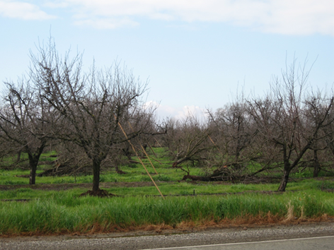 Photo 4. A mature orchard in south Butte County, flattened by a high wind event 13 years earlier, straightened and farmed, and flattened again by another high wind event. Photo Credit: F. Niederholzer