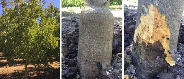 Fig. 1. Symptoms of Phytophthora disease in walnut trees: dark, water-soaked lesions with irregular margins.