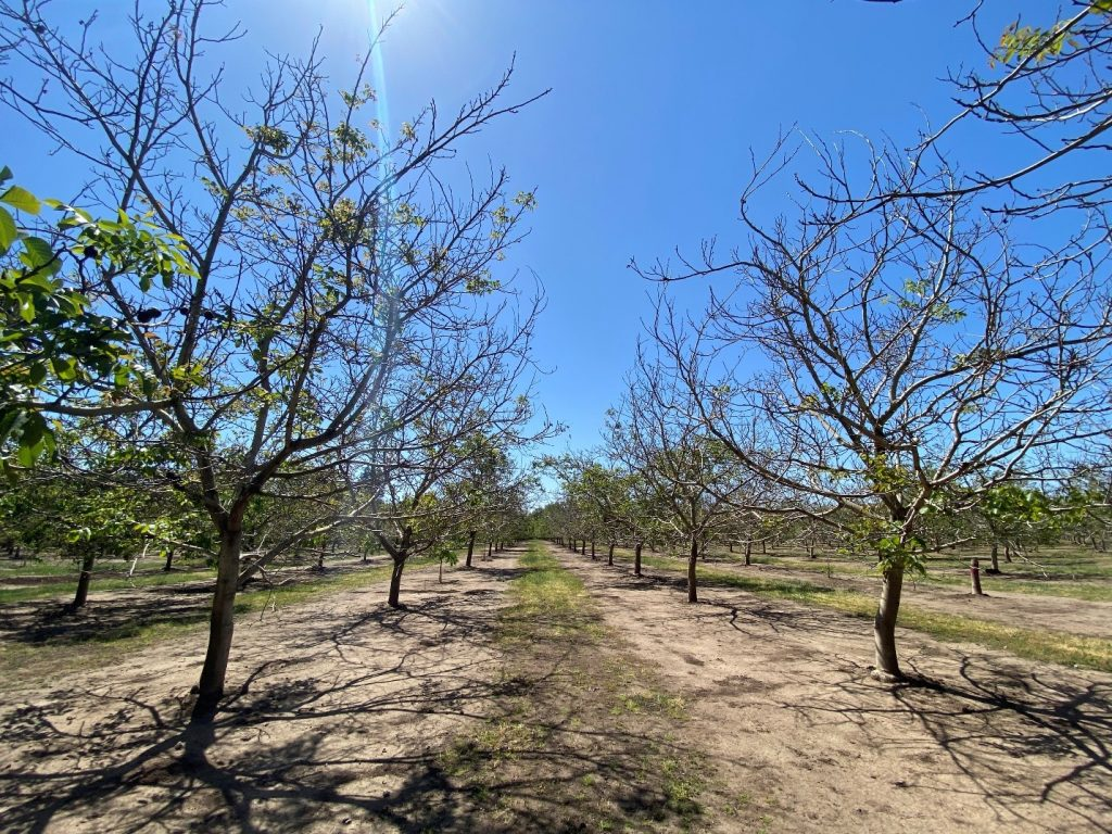 Image of freeze damaged walnut trees with poor leaf out